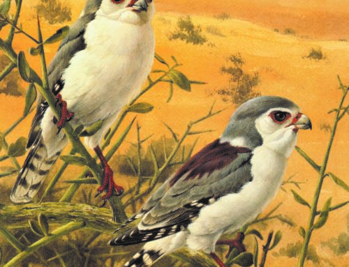 BIRDS OF THE AFRICAN BUSH